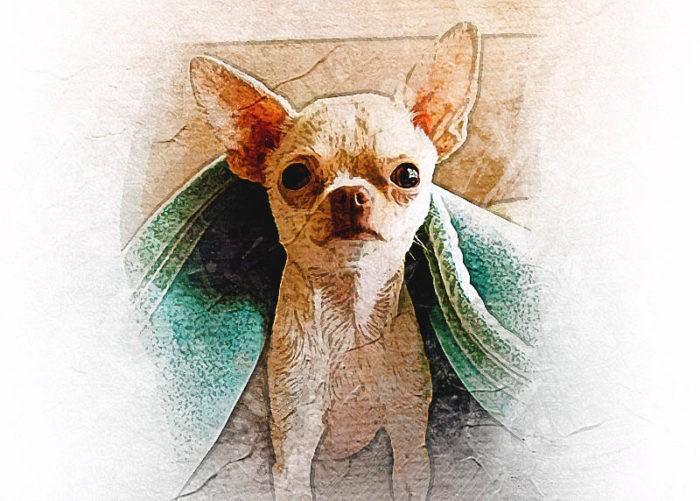 Маленькая собака Чихуахуа